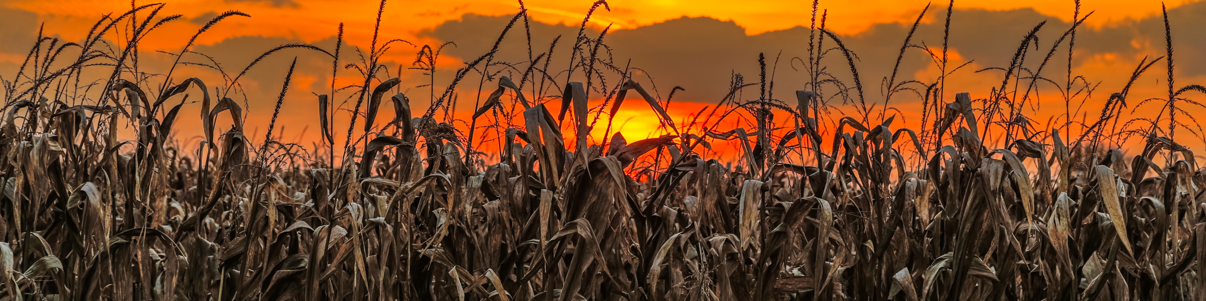 Fall Corn Subpage19